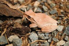 Ciérrese para arriba y enfoque la rana del arbusto, leucomystax del Polypedates, rana arbórea/tipo de niebla en naturaleza Imagenes de archivo