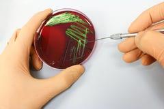 Ciência da microbiologia - cultura das bactérias imagens de stock