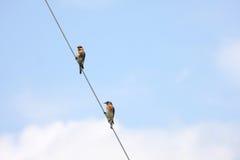 Uccelli su un cavo Fotografie Stock Libere da Diritti