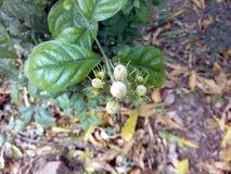 Ciò è l'immagine di molti germogli del fiore con le foglie verdi immagine stock libera da diritti
