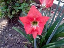 Ciò è l'immagine di molti germogli di fiore rossi con le foglie verdi immagini stock