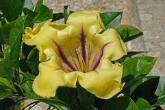Ciò è massimi del Solandra, la tazza della vite dell'oro, dalle solanaceae della famiglia Fotografia Stock Libera da Diritti
