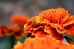 Ragno in fiore Immagine Stock Libera da Diritti