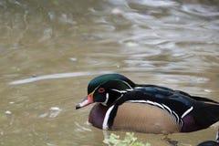 Ciò è un bello nuoto dell'anatra di legno in uno stagno fotografia stock libera da diritti
