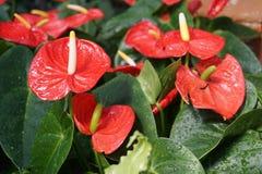 Ciò è un fiore chiamato anturio fotografie stock