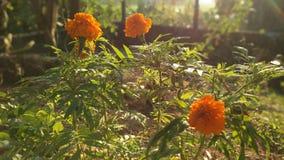Ciò è un fiore della Sri Lanka fotografia stock libera da diritti