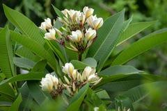 Ciò è un'immagine di un frangipane del fiore, plumeria Nome botanico: Plumeria rubra, famiglia: Famiglia dell'oleandro di apocyna immagine stock