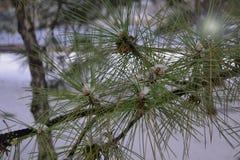 Ciò è un ramo del pino con luce solare fotografia stock