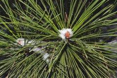 Ciò è un ramo del pino con neve immagini stock libere da diritti