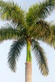 Ciò è una palma reale! fotografie stock