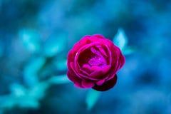 Ciò è una rosa fotografia stock libera da diritti