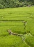 Giacimento Tailandia del nord del riso Fotografie Stock Libere da Diritti