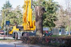 Ciąć wielkiego drzewa w mieście Zdjęcie Royalty Free