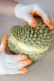Ciągnąć oddzielnie durian owoc segmenty rękami Zdjęcia Stock