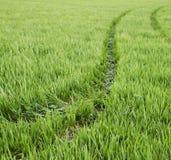 Ciągników ślada na dojrzewać pszenicznego pole zdjęcia royalty free