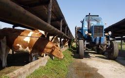 Ciągnik jest rozpraszającymi traw krowami Obrazy Royalty Free