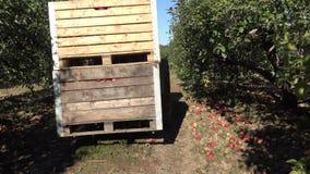 Ciągnikowy podnosi up drewnianych skrzynek pudełka jabłczane owoc i transport pełno 4K zdjęcie wideo