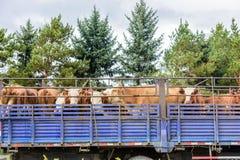 Ciężarówka pełno krowy zdjęcie stock