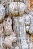 Ciężarówka szczegóły antyczny drzewo nad 300 lat w Pekin ` s świątyni Confucius obrazy royalty free