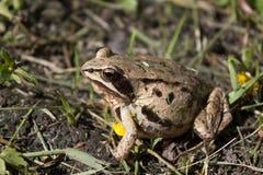 Ciężarna żaba w trawie w antycypaci zdjęcia stock