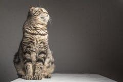 Ciężarne gęste szarość paskowali szkockiego fałdu kota obsiadanie na stole Obrazy Royalty Free