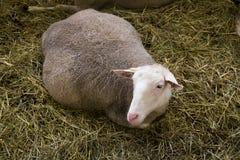 Ciężarni żeńscy sheeps w sheepfold zdjęcia stock