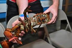 Ciężarny Żeński homar fotografia stock