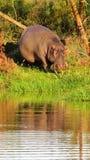 Ciężarny hipopotam przy nawadnia krawędź w Afryka zdjęcia royalty free