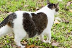 Ciężarny kota odprowadzenie na trawach zdjęcie stock