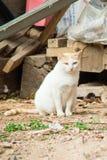 Ciężarny kota zostawać Obraz Royalty Free
