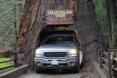 Ciężarowy jeżdżenie przez świecznika drzewa, Leggatt, Kalifornia zdjęcie royalty free