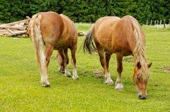 Ciężcy konie pasa w łące na słonecznym dniu obraz stock