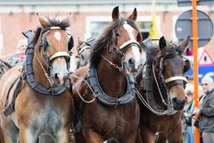Ciężka koń parada Lennik Obraz Royalty Free