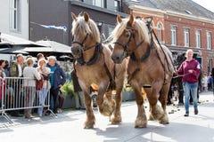 Ciężka koń parada Lennik Fotografia Stock