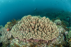 Ciężka rafa koralowa w Ambon, Maluku, Indonezja podwodna fotografia Fotografia Stock