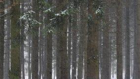 Ciężki śnieg spada w sosnowym lesie zdjęcie wideo