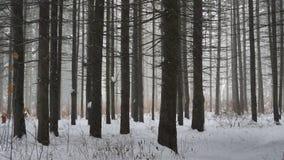 Ciężki śnieg spada w sosnowym lesie zbiory wideo