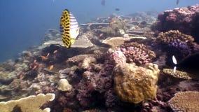 Ciężki koralowy acropora podwodny na zadziwiającym dnie morskim w Maldives zdjęcie wideo