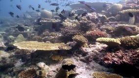 Ciężki koralowy acropora podwodny na zadziwiającym dnie morskim w Maldives zbiory