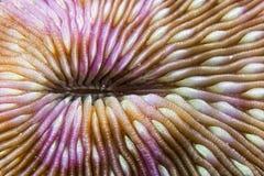 Ciężki koralowy szczegół Obrazy Stock