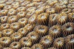 Ciężki koralowy szczegół Obraz Stock