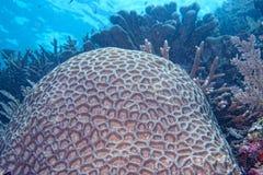 Ciężki koralowy szczegół Zdjęcia Stock