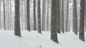 Ciężki opad śniegu w sosnowym lesie w mgłowym dniu w zimie zbiory