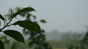 Ciężki podeszczowy spadać na liściu w ogródzie zdjęcie wideo