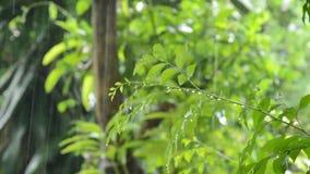 Ciężki podeszczowy spadać na pomarańczowym jaśminowym liściu w ogródzie zbiory wideo