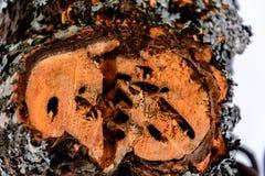 Cięcie drzewo życie drzewo pierścionek, wszędzie, tekstura, tło, naturalny jeden obrazy royalty free