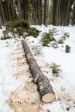 Cięcie puszka świerkowy drzewny lying on the beach w śniegu Zdjęcie Royalty Free
