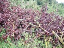 Cięcie puszka gałąź drzewo wypiętrzali up na ziemi Fotografia Stock