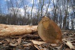 cięcie na drzewa Zdjęcie Stock