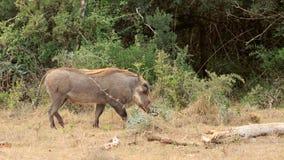 Cięcie - Phacochoerus africanus pospolity warthog Obraz Stock